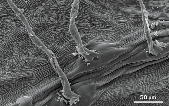 Scanning electron micrograph shows the surface of a silver birch leaf before exposure to diesel exhaust. Credit: Environ. Sci. Technol.