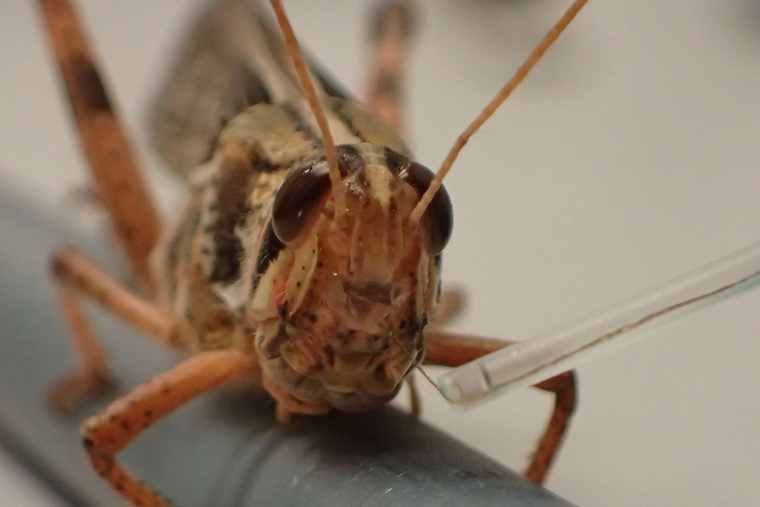 Researchers showed how they were able to hijack a locust's olfactory system to both detect and discriminate between different explosive scents — another step in the direction toward bomb-sniffing locusts. (Credit: Raman Lab)